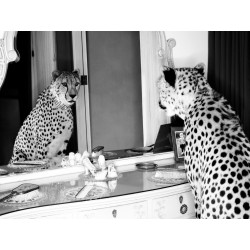 Cheetah looking in mirror